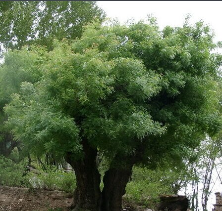 园林植物小常识——黄连木